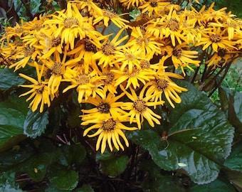 LIGULARIA Masses Of Flowers! Dentata Leopard Groundsel Leaved Perennial 50 Seeds