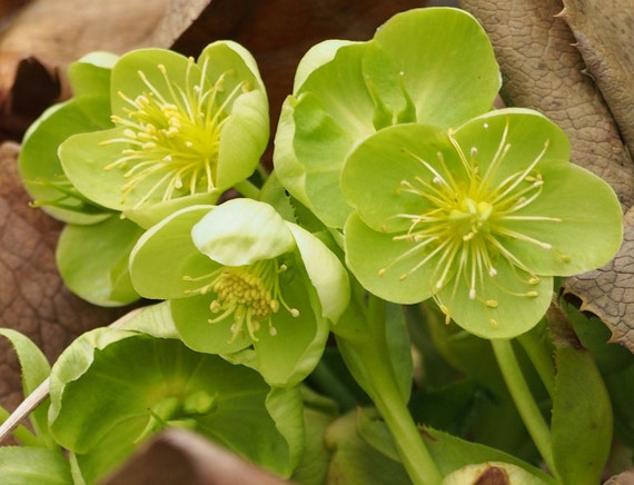LIME HELLEBORUS Corsicus Perennial Christmas Rose Heleborus