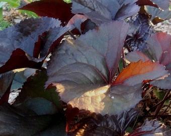 LIGULARIA RED Midnight Dentata Black Dark Ragwort Leopard Groundsel 50 Seeds