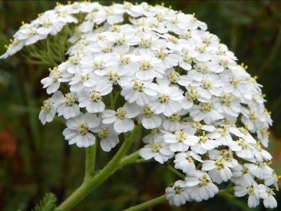 WHITE YARROW Achillea Millefolium Hardy Perennial 30 Seeds