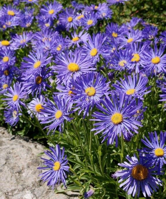 Blue Alpinus 50 Seeds Aster