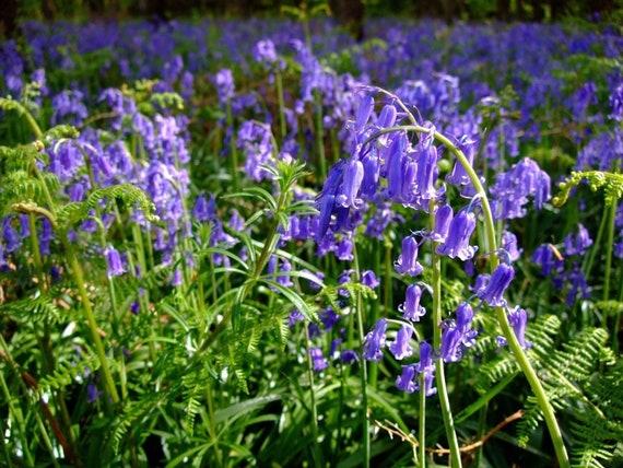 150 Graines Anchusa-Ange Bleu