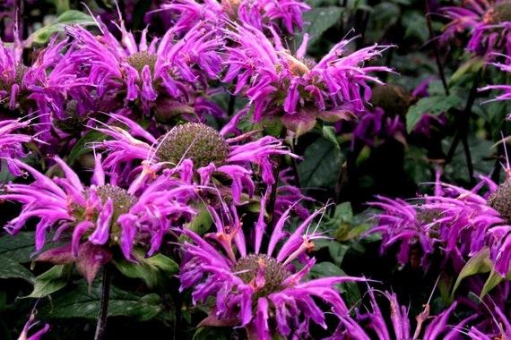 LEMON BERGAMOT Monarda Beebalm Horsemint Citriodora Pollinator | Etsy