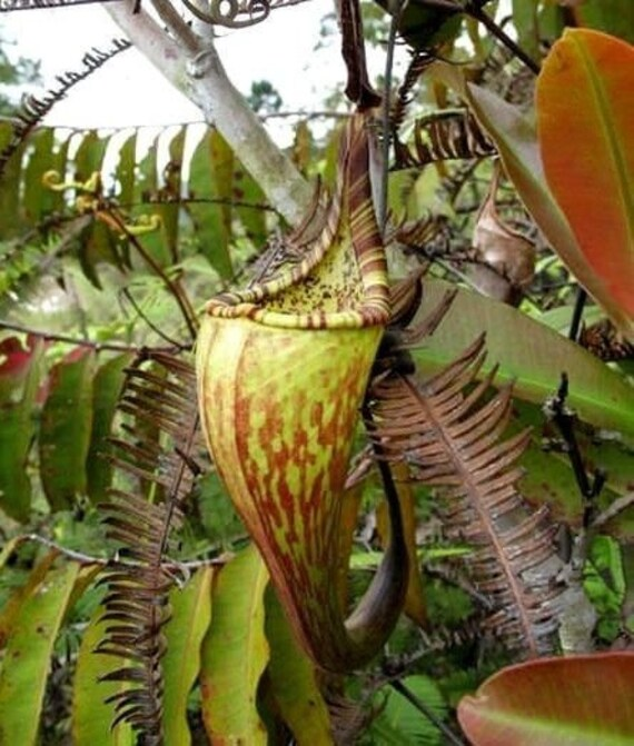DUSKY PITCHER PLANT Nepenthes Fusca Carnivorous 5 Rare Seeds | Etsy