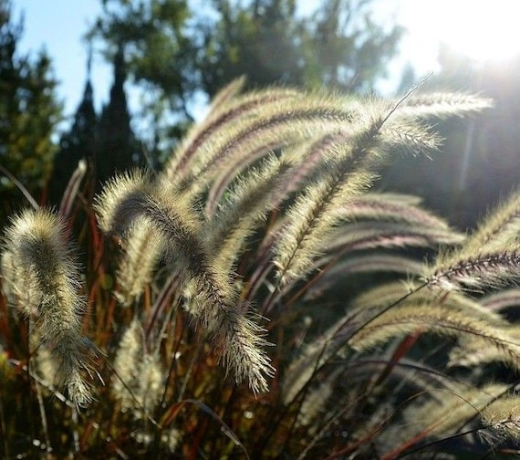 Purple Red Fountain Grass Pennisetum Ornamental Bronze Plumes Etsy