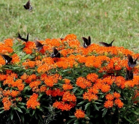 BUTTERFLY WEED ORANGE Asclepias Tuberosa 20 Seeds