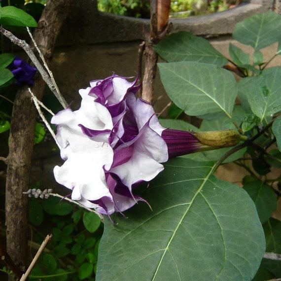 Dark Purple Black DOUBLE DATURA Quick Bloom Angel Trumpet Brugmansia 10 Seeds