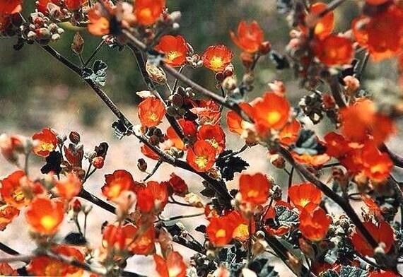 DESERT APRICOT GLOBEMALLOW Sphaeralcea Ambigua Globe Mallow Perennial 30 Seeds