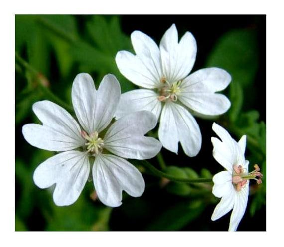 Geranium Seeds Saturn Mix flower seeds 50 Seeds BULK SEEDS