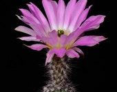 Echinocereus Fobeanus nr 70a