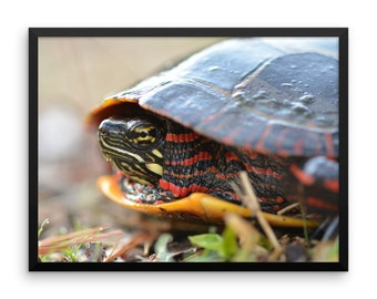 Wildlife Red Bellied Turtle Macro Framed photo paper poster