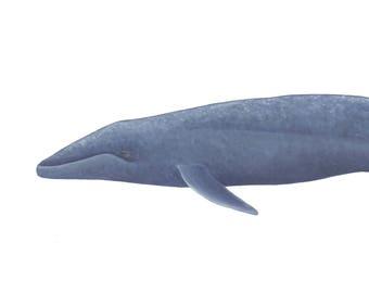 Blue Whale Archival Print