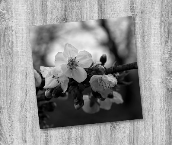 Black And White Cherry Blossoms Photography Monochromatic
