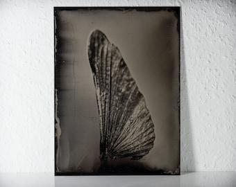 Wing of a mantis | original Tintype
