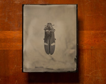 Diamant bug | INSECTAE series | Tintype Photograph