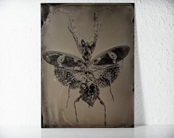 The Mantis | original tintype | analog Photograph