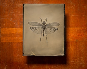 Walking leaf | INSECTAE series | Tintype Photograph