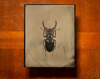 Stag beetle | INSECTAE series | Tintype Photograph