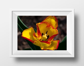 Flower Photography Prints, Large Wall Art, Tulip Photography, Fine Art Photography Flowers, Spring Tulip, Tulip Wall Art, Rustic Farm Decor