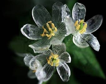 Skeleton Flower Diphylleia Grayi Perennial Seeds x 15