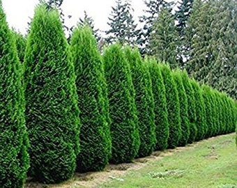 "5 Green Giant Arborvitae 3"" pot"