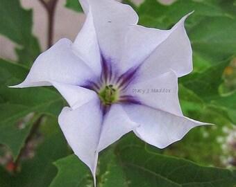 Coloriage Fleur Myosotis.Jardin Graines Myosotis Chinois Cynoglossum Amabile Etsy