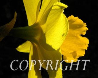 Daffodil on his profile. macro photo.