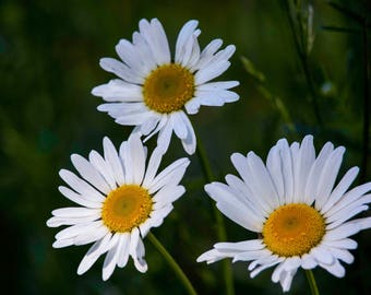 Daisy Days - Greeting Card Set of Five