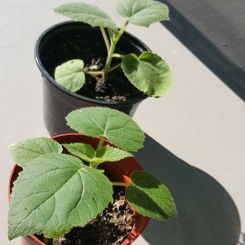 Seeds Semi Paulownia Tomentosa Kiri 10000 Seeds