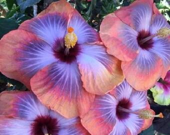 Blue Hibiscus Flower Etsy