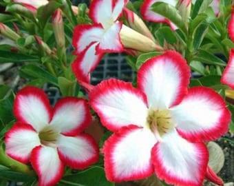 1514cc5f7 4 White Red Desert Rose Seeds Adenium Obesum Flower Perennial Bushes Exotic  Tropical Garden Flowering Bonsai Plumeria Seed House Plant