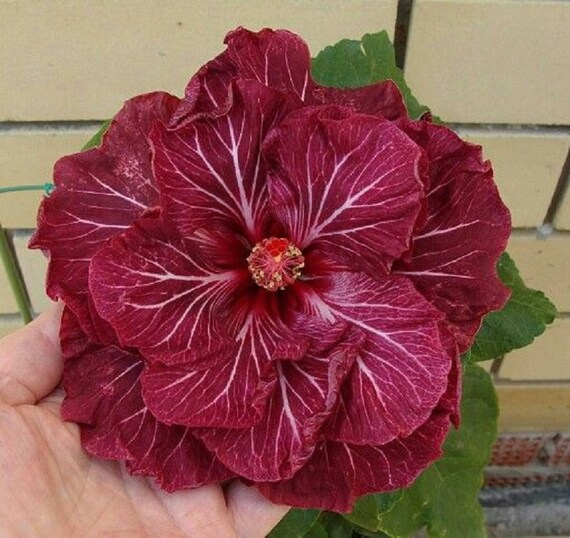 Rare Dark Pink White Hibiscus Seeds Giant Dinner Plate Fresh | Etsy