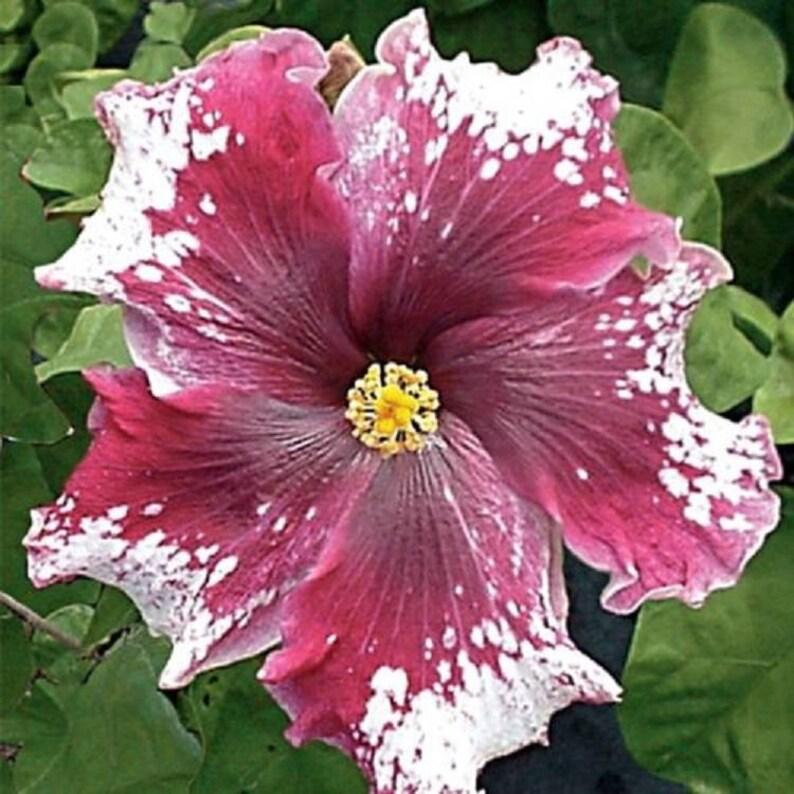 10 Maroon White Hibiscus Seeds Giant Dinner Plate Fresh Flower Etsy