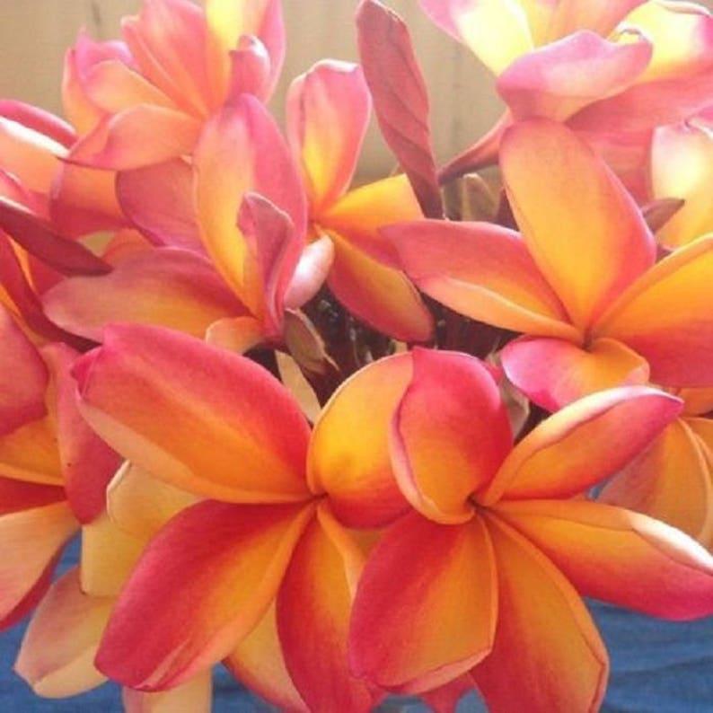 5 Rare Orange Pink Yellow Plumeria Seeds Plants Flower Lei Etsy