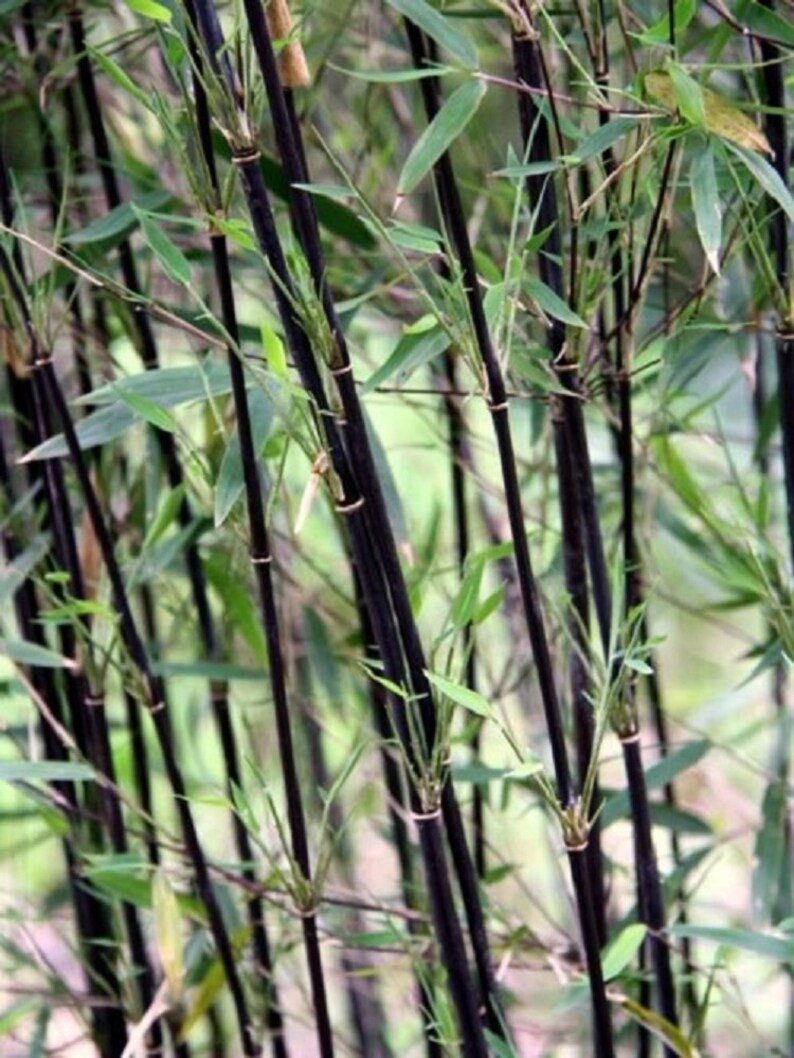 50 Deep Purple Bamboo Seeds Privacy Plant Garden Clumping Etsy