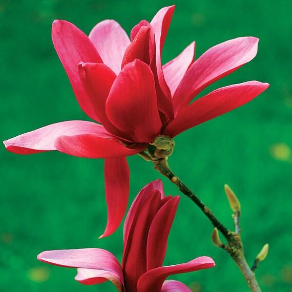 5 Burgundy Star Magnolia Seeds Lily Flower Tree Fragrant Tulip Etsy