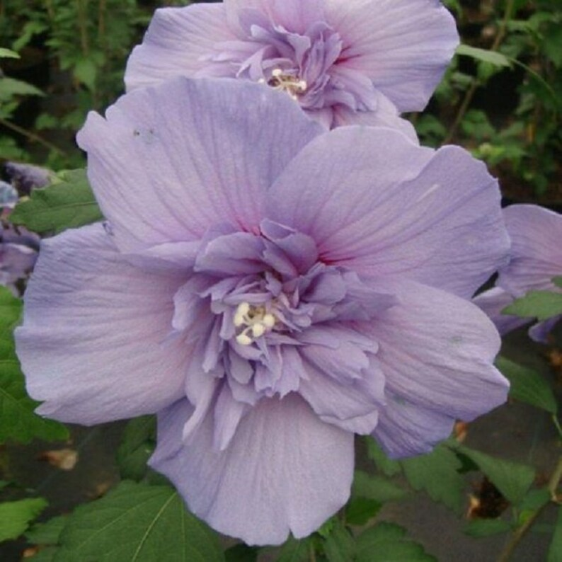 20 Double Light Purple Hibiscus Seeds Tropical Giant Dinner Etsy