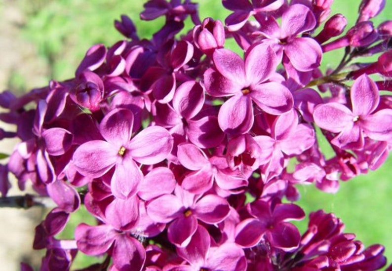 25 Purple Flower Lilac Seeds Tree Fragrant Hardy Perennial Etsy
