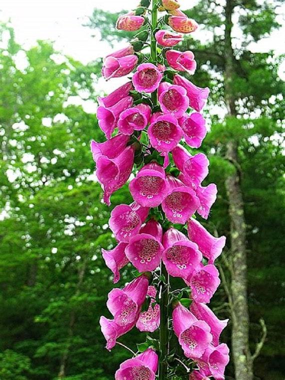 Pink foxglove seeds biannual giant garden flower fox glove etsy mightylinksfo