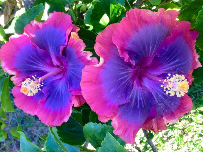 20 Pink Purple White Hibiscus Seeds Giant Dinner Plate Fresh Etsy