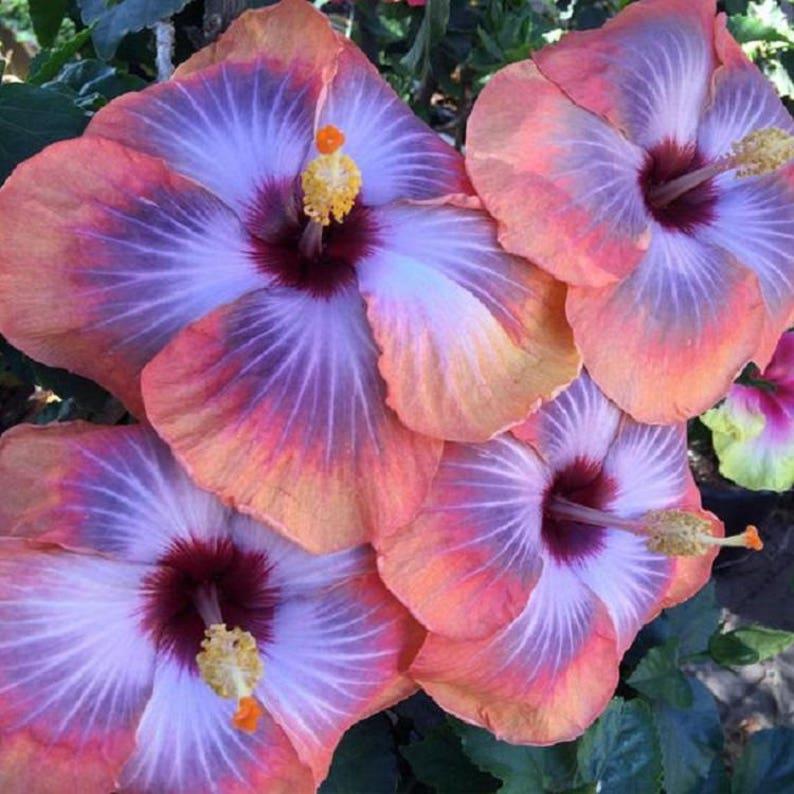 20 Pink Blue Hibiscus Seeds Giant Dinner Plate Fresh Flower Etsy
