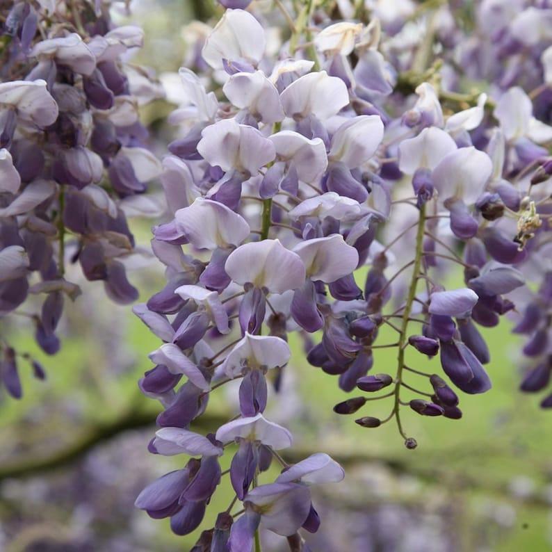 Go Garden Lot of Wisteria Seeds-Pale Purple 50 Newest Crop: 2017