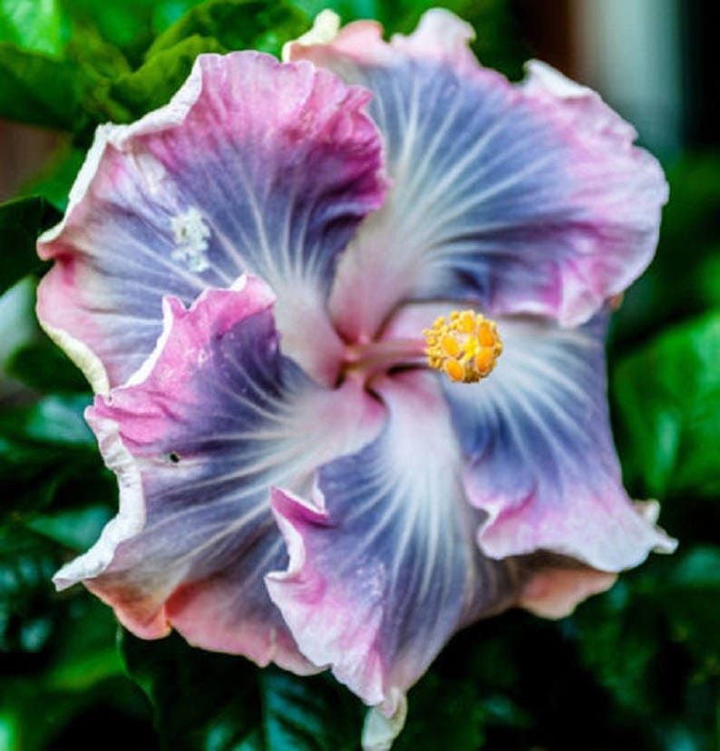 20 Blue Purple Hibiscus Seeds Giant Dinner Plate Fresh Flower Garden Exotic Hardy Flowering Perennial Plumeria Patio Container Seed Bloom