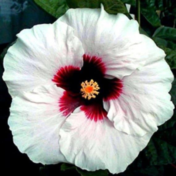 10 White Red Hibiscus Seeds Giant Dinner Plate Fresh Flower Etsy