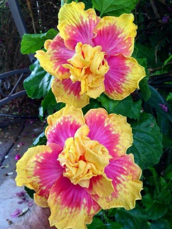 20 Double Pink Yellow Hibiscus Seeds Giant Dinner Plate Fresh Etsy