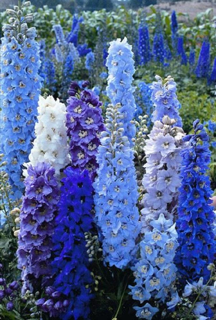 Blue Delphinium Mix Seeds Perennial Giant Garden Flower Bright Etsy