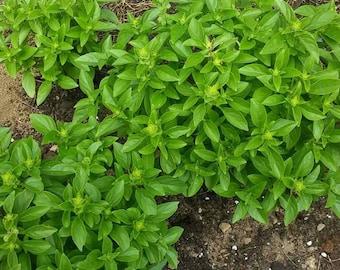 Seeds - Globe Basil, 50 ct.