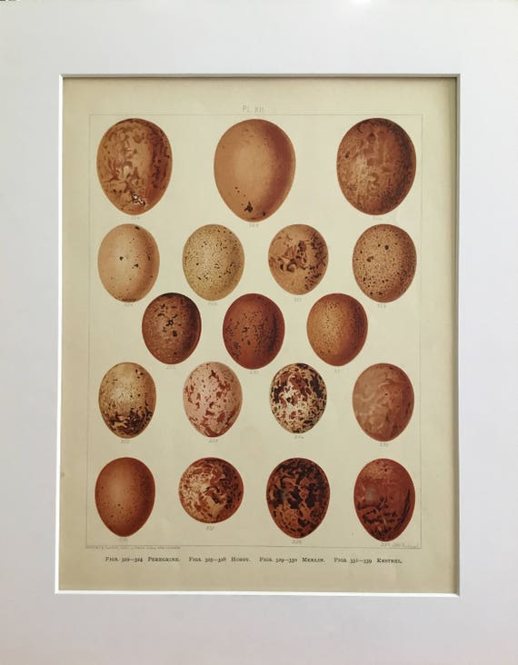 Bird Eggs no8 Easter Decoration Vintage Bird Egg Prints Antique bird egg plate
