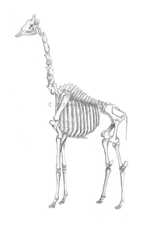 How To Draw Giraffe Fast