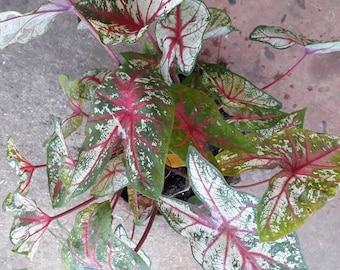 2 bulb Caladium, Queen of the Leafy Plants,caladium